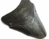 Fossilized Shark Tooth Perfect Wire Wrapping Extinct Great Big Belt Buckle Sized Specimen Shark Week Possibly Megaladon