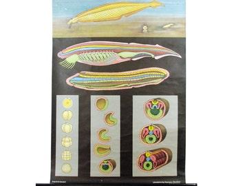 vintage jung koch quentell german school chart -- planaria