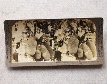 vintage stereocard photograph : keystone stereo card tropical fruit island of java paper ephemera mixed media