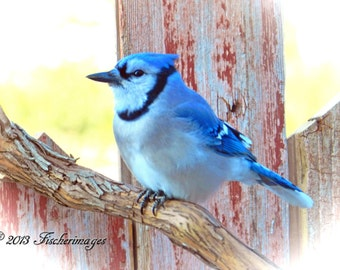 Blue Jay  Bird Perched on a Vine with Red Barn Boards in Background Wall Art Home Decor Art Decor Digital Download Fine Art Photography.