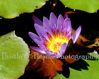 Water Lily Photography - 5x7 Photographic Art Print