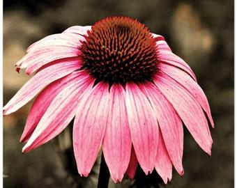 Flower Photograph, cone flower, pink, The Flower, 8x10 fine art print