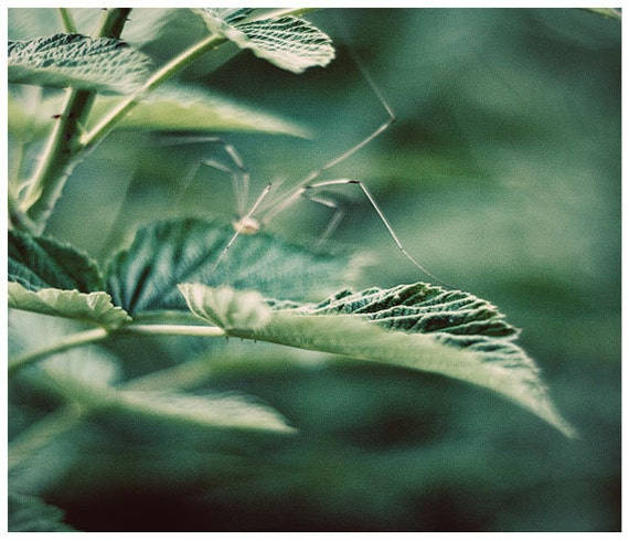 Nature photography, daddy long legs, nursery art decor, green leaves, green art decor, fine art print