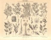 1890 Natural Dye Plants, Brazilwood, Catechu, True Indigo, Logwood, Achiote, Safflower, Dyer's Rocket, Woad, Black Oak Antique Engraving