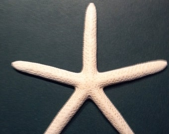 """3 Finger Starfish Natural White 3 starfish  6 to 8"""" inches Beach Nautical Decor ,Crafts,Weddings,Great for Home decor"""