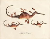 Antique Sea Horse Art Print - 8x10 - Leafy Sea Dragons