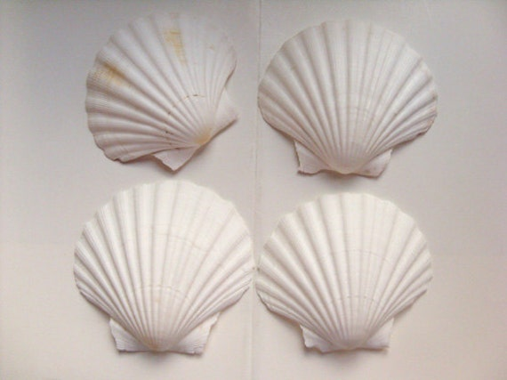 Scallop shells large seashells shell for candles serving - Scallop shells for crafts ...