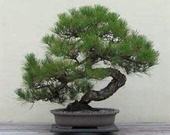 5 Japanese Black Pine Tree-1144