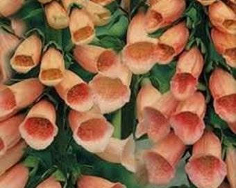 100  Heirloom Digitalis purpurea Apricot Beauty Seeds