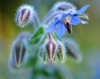 Heirloom 250 Seeds Borage Borago officinalis Flowering Herb Blue Flower Fresh Bulk Seeds B0111