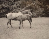 Original Antique Photograph Mother Horse Nurses Foal in Field