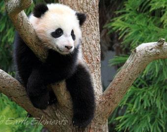 Baby Panda - panda cub photo, panda photo, baby panda photo, panda bear photo, panda photography, wildlife, cute, fuzzy