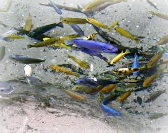Fish Print / Fish Photograph / Multicolored Fish / Blue Fish Photograph / Free US Shipping / MVMayoPhotography