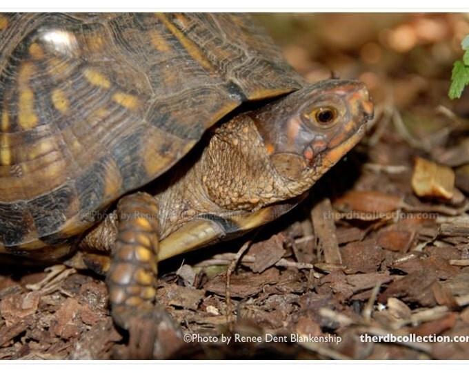 Tortoise Photo - Aesop Fable Inspiration - Child Decor - Nature Photography - Tortoise Print - theRDBcollection - Renee Dent Blankenship
