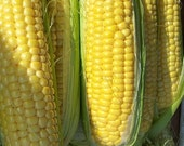 Golden Bantam  Heirloom Sweet Corn Seeds Non GMO