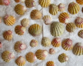 """For The Truly Creative  - 50 plus Kauai Sunrise Shell """"Super Special"""" Uncleaned/Partially Cleaned"""
