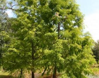 1000 Pond Cypress Tree Seeds, Taxodium Ascendens