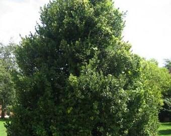 500 English Holly Tree Seeds, Ilex aquifolium