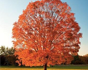 50 Sugar Maple Tree Seeds, Acer saccharum, wings