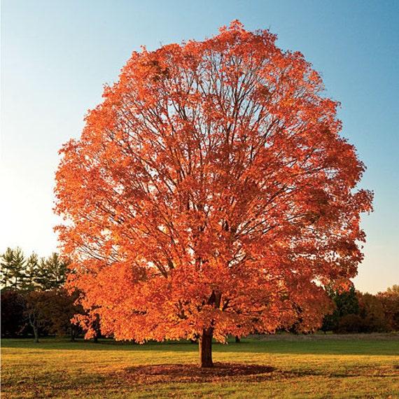 50 Sugar Maple Tree Seeds Acer saccharum wings - photo#24
