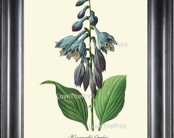 BOTANICAL PRINT Redoute Flower  Botanical Art Print 64 Beautiful Blue Hosta  Hemerocallis caerulea Plant Garden Nature Home Decor