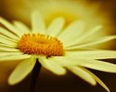 "Daisies, Summer, Yellow, Floral, Photography, Garden, Macro, Wall Art, Home Decor - ""Summer's End"""