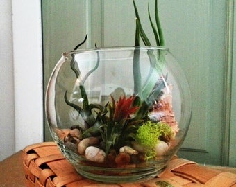 Woodsman Terrarium Earth Stones Red Air plant Plus Bulbosa and Bailyii Air Plants- Reindeer Moss and Wood