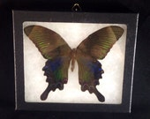 Real Chinese Peacock Butterfly Pinned and Mounted in Riker Mount
