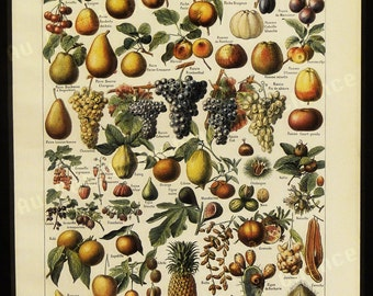 Print - Fruits - French Illustration - 1949