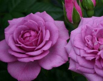 Lavender Veranda ® Rose Bush Plant Own Root Potted Plant Reblooming Lavender Rose - SPRING SHIPPING