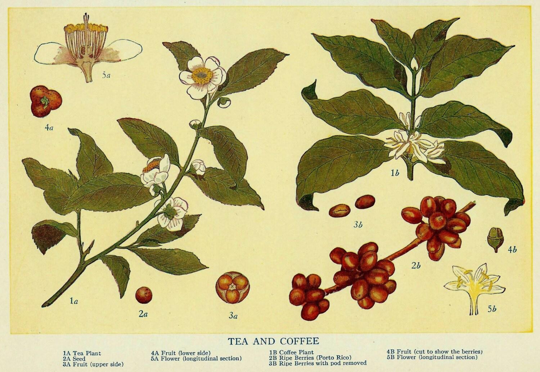Vintage Coffee and Tea Plant Botanical Illustration Art