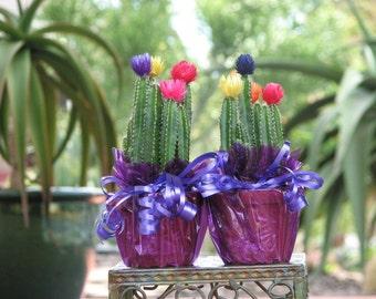Rainbow Cactus Plant, Gift Plant