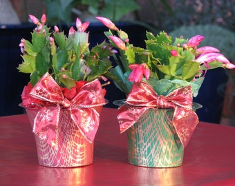Deluxe Blooming Christmas Cactus