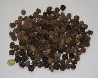 200 Hemlock Pine Cones