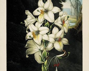 White Lily art print Vintage botanical prints garden wall art home decor wall art French prints antique print Victorian art flower wall art