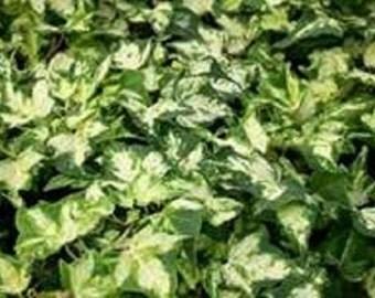 Variegated Kohribi Hedera Ivy Plant