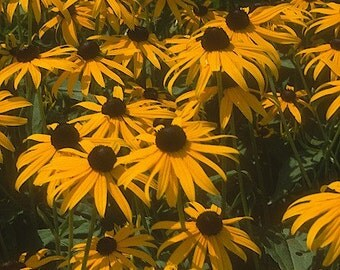 Black-Eyed Susan Plant 2015 Seeds