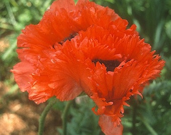 Poppy 'Turkenlouis' Plant 2015 Seeds