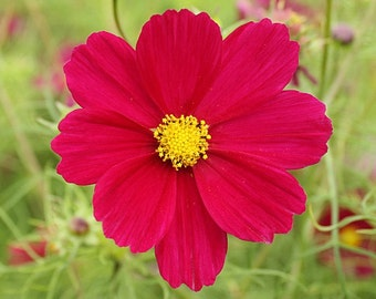 "100 *HEIRLOOM* Cosmos ""Dazzler"" Seeds"