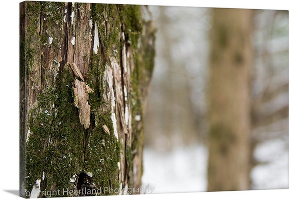 Winter Oak Tree Photo Canvas - Moss Canvas Wall Art - Green Moss Photography - Winter Nature Photography - Gallery Wrapped Canvas - Snow Art