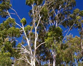 100  Seeds Eucalyptus citriodora , lemon gum, lemon scented eucalyptus,lemon-scented iron gum,