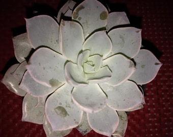 Small Succulent Plant Echeveria Subsessilis