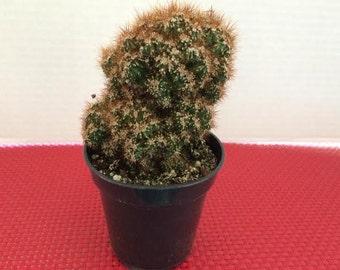 Cactus Plant.  Medium Curiosity Cactus 'Rojo'