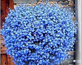 Flower Seeds - OCEAN BREEZE - Blue Flax