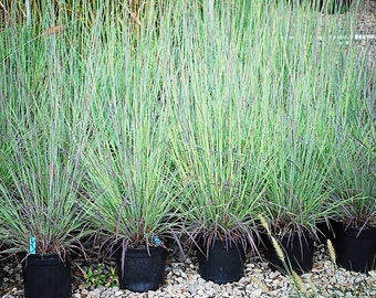 Little Blue Stem Grass 3 Containers in 4 inch size