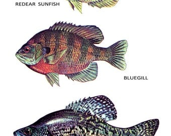 Fish Classification Poster, Sunfish, Bluegill, Black Crappie, Fish, Fishing