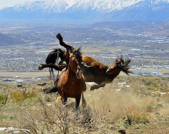 Wild Horses. Wild Mustangs.  Stallions Fighting.