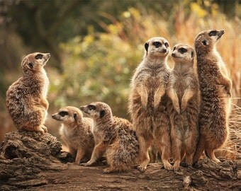 meerkat print on Etsy, a global handmade and vintage marketplace.
