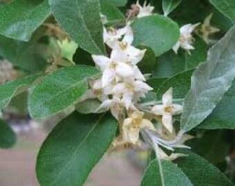Elaeagnus Silver Thorn