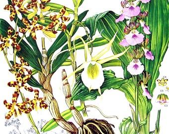 Leopard Orchid, Comet Orchid, Guinea Eulophia - Botanical Print - 1988 Vintage Flower Print